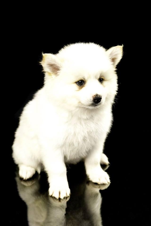 hund rasen pompsky